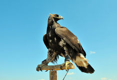 Steppe Eagle head close-up. Steppe Eagle close-up in front of blue sky royalty free stock photography