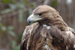Steppe eagle. Royalty Free Stock Images