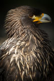 Steppe Eagle (lt. Aquila nipalensis) Stock Image