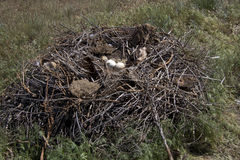 Steppe eagle nest in the spring steppe Royalty Free Stock Images