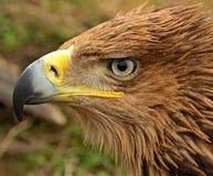 Steppe eagle. Portrait of a steppe eagle Stock Photos