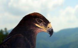 Steppe eagle Stock Image