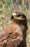 Steppe eagle proud. Stock Photos