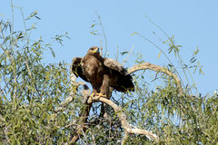 Steppe eagle READY TO FLY JORBEER OUTSKIRT BIKANER. The Steppe Eagle Aquila nipalensis is a bird of prey . This is a large eagle with brown upperparts and Royalty Free Stock Images