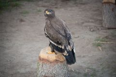 Steppe eagle sits on a tree stump at the falconer.  Stock Image