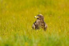 Steppe Eagle sitting in the field stock photography