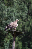 Steppe Eagle sitting in front of Trees Royalty Free Stock Photos