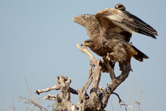 The Steppe Eagle Taking off  BIKANER. The Steppe Eagle Aquila nipalensis is a bird of prey . This is a large eagle with brown upperparts and blackish flight Stock Photography