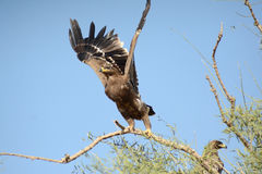 Steppe eagle TAKING OFF JORBEER OUTSKIRT. The Steppe Eagle Aquila nipalensis is a bird of prey . This is a large eagle with brown upperparts and blackish flight Royalty Free Stock Images