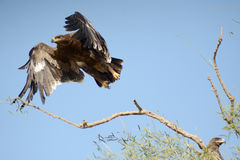 Steppe eagle TAKING OFF JORBEER OUTSKIRT BIKANER Stock Images