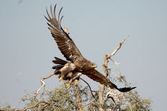 The Steppe Eagle is  Taking off Jorbeer outskirt BIKANER Stock Photo