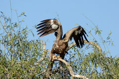Steppe eagle ABOUT TO FLY JORBEER OUTSKIRT BIKANER. The Steppe Eagle Aquila nipalensis is a bird of prey . This is a large eagle with brown upperparts and Royalty Free Stock Images