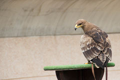 Steppe Eagle in training. It is an eagle in training royalty free stock photo