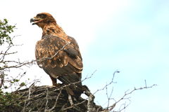 Steppe Eagle in tree. We saw this beautiful eagle in a tree in the Sabi Sands Reserve Stock Photos