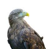 Steppe eagle (aquila rapax) isolated on white background Royalty Free Stock Photos