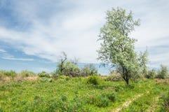 steppe Elaeagnusboom het groeien dichtbij de rivier silverberry of ol stock afbeeldingen