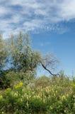 steppe Elaeagnusboom het groeien dichtbij de rivier silverberry of ol stock fotografie