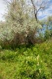 steppe Elaeagnusboom het groeien dichtbij de rivier silverberry of ol royalty-vrije stock afbeeldingen