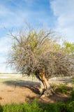 steppe ensam tree saltdamm Treeless fattig fuktighet och general arkivbild