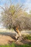 steppe ensam tree saltdamm Treeless fattig fuktighet och general royaltyfria foton
