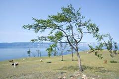 steppe för olkhon för larches för asia baikal ölake Royaltyfri Fotografi