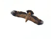 steppe för rapax för rov för nipalensis för aquila bäst fågelörn arkivbilder
