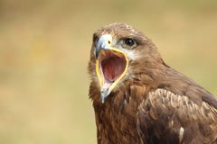 steppe för rapax för rov för nipalensis för aquila bäst fågelörn Fotografering för Bildbyråer