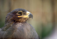 steppe för rapax för rov för nipalensis för aquila bäst fågelörn arkivbild