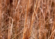 Steppe feather grass royalty free stock image