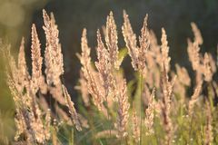 Steppe feather grass at sunset. Spikes of field grass in the evening sun royalty free stock image