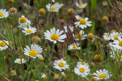 Steppe field of daisies Royalty Free Stock Photo