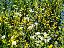 Steppe flowers. Brightly blossom in July Stock Image