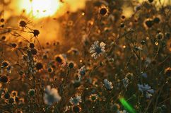 Free Steppe Flowers In The Morning Sun On The Outside Stock Photos - 130158913