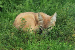 Steppe fox Royalty Free Stock Images