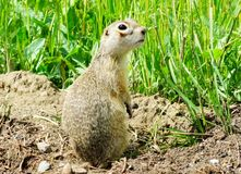 Steppe gophers Stock Photography