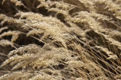 Steppe Grass. The heads of steppe grass at bright sunlight close up Stock Photography