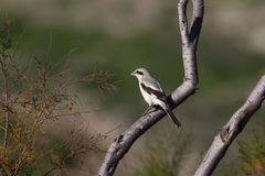 Steppe Grey Shrike perched Stock Photo