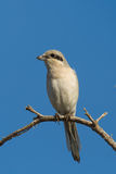 Steppe Grey Shrike perched Stock Image