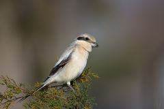 Steppe Grey Shrike perched Royalty Free Stock Photo