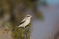 Steppe Grey Shrike perched Stock Photos