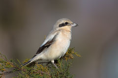 Steppe Grey Shrike perched Royalty Free Stock Images