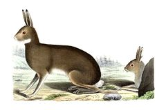 The steppe hares. The steppe hares illustration Stock Images