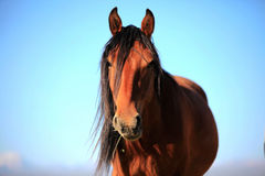 Steppe horse. Chinese steppe horse summer close-up pictures Royalty Free Stock Photo