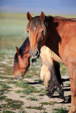Steppe horse. Chinese steppe horse summer close-up pictures Royalty Free Stock Images