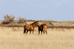 Steppe horse Royalty Free Stock Photos