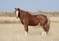 Steppe horse Stock Photography