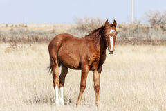 Steppe horse Stock Images