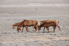 Steppe horse Stock Image
