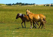 Steppe horse Royalty Free Stock Photo