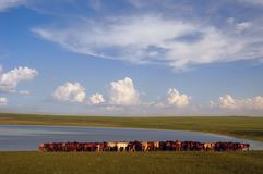 Steppe horses Stock Photography